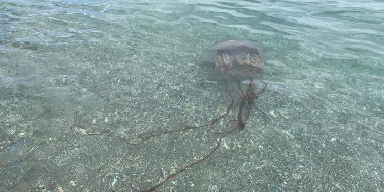 Medusa de casi dos metros de longitud en las aguas de Manilva
