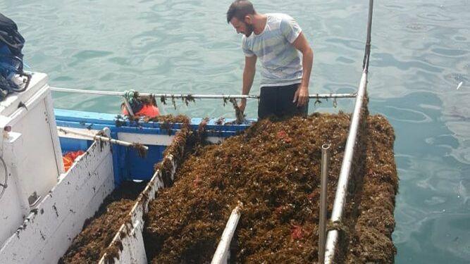 Las redes de los pescadores, repletas del alga invasora.
