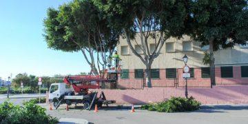El plan municipal actuará sobre 1.200 árboles y palmeras.