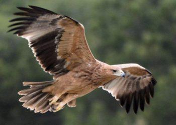 Imagen de un águila imperial